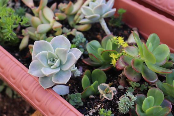 サボテンの鉢植え1